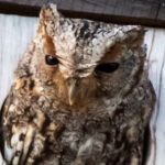 Flammulated Owl Field trip Summary