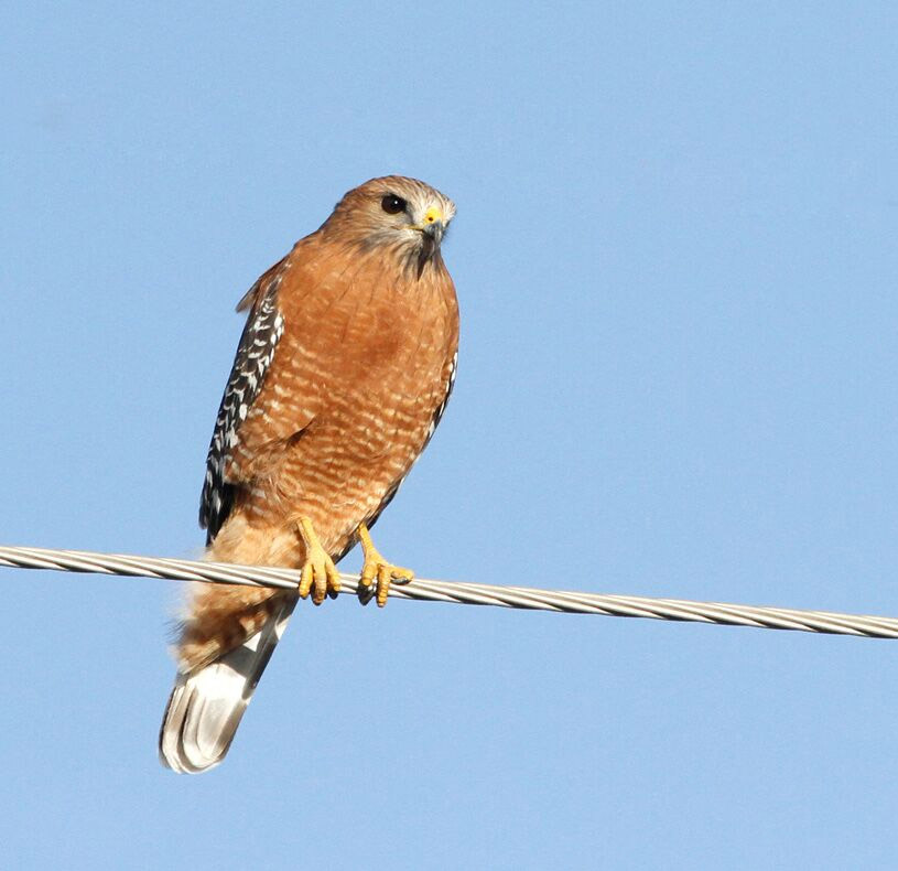Red Shouldered Hawk Nelson
