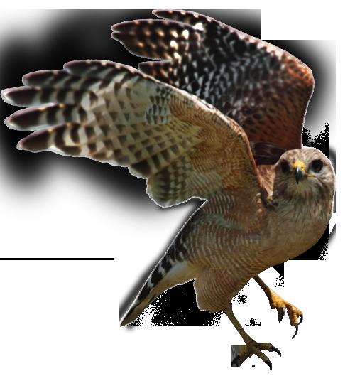central valley birds hawk