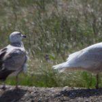 Gull Workshop